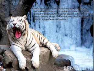 Иногда случается, что белые тигры рождаются абсолютно белыми, без единой темной