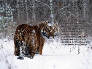 Из пяти ныне существующих подвидов тигра амурский по своим размерам является сам