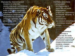 Маршруты перемещений тигров по участку относительно постоянны и поддерживаются и