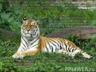 Для тигриц среднее перемещение за сутки - 7 км, максимальное - 22 км. Основу пит