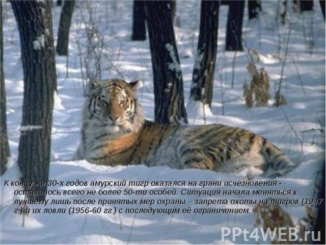 К концу же 30-х годов амурский тигр оказался на грани исчезновения - оставалось всего не более 50-ти особей. Ситуация начала меняться к лучшему лишь после принятых мер охраны – запрета охоты на тигров (1947 г.) и их ловли (1956-60 гг.) с последующим…