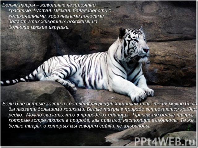 Белые тигры – животные невероятно красивые. Густая, мягкая, белая шерсть с великолепными коричневыми полосами делает этих животных похожими на большие мягкие игрушки. Если б не острые когти и соответствующий хищникам нрав, то их можно было бы назват…