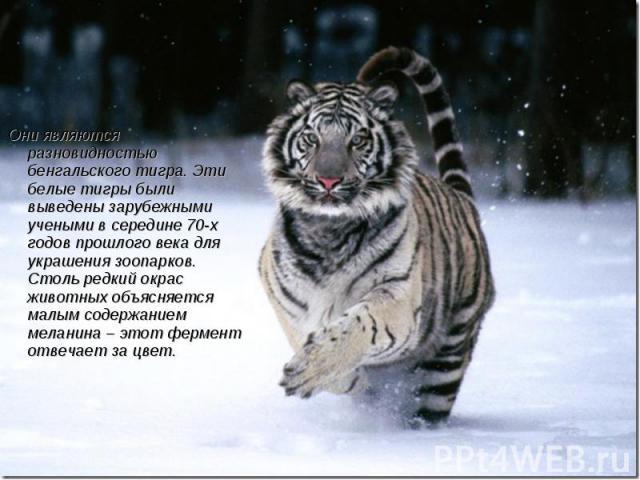 Они являются разновидностью бенгальского тигра. Эти белые тигры были выведены зарубежными учеными в середине 70-х годов прошлого века для украшения зоопарков. Столь редкий окрас животных объясняется малым содержанием меланина – этот фермент отвечает…