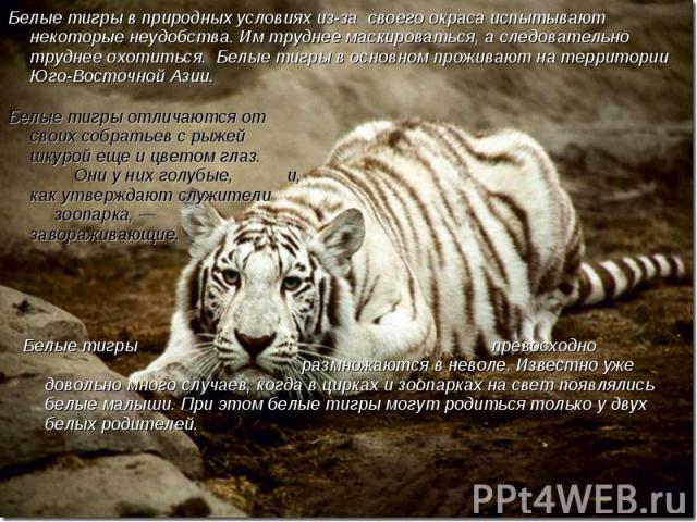 Белые тигры в природных условиях из-за своего окраса испытывают некоторые неудобства. Им труднее маскироваться, а следовательно труднее охотиться. Белые тигры в основном проживают на территории Юго-Восточной Азии. Белые тигры отличаются от своих соб…