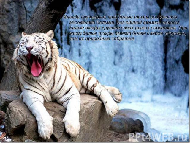 Иногда случается, что белые тигры рождаются абсолютно белыми, без единой темной полосы. Белые тигры крупнее своих рыжих собратьев. При этом белые тигры имеют более слабое здоровье, чем их природные собратья.