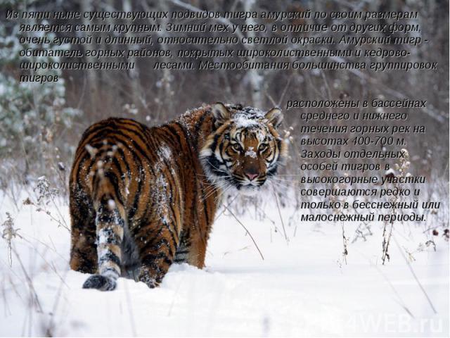 Из пяти ныне существующих подвидов тигра амурский по своим размерам является самым крупным. Зимний мех у него, в отличие от других форм, очень густой и длинный, относительно светлой окраски. Амурский тигр - обитатель горных районов, покрытых широкол…