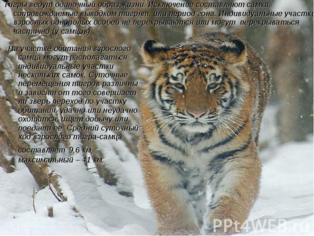 Тигры ведут одиночный образ жизни. Исключение составляют самки, сопровождаемые выводком тигрят, или период гона. Индивидуальные участки взрослых однополых особей не перекрываются или могут перекрываться частично (у самцов). На участке обитания взрос…