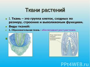 Ткани растенийI. Ткань – это группа клеток, сходных по размеру, строению и выпол