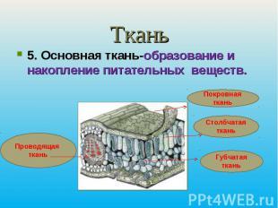 Ткань5. Основная ткань-образование и накопление питательных веществ.