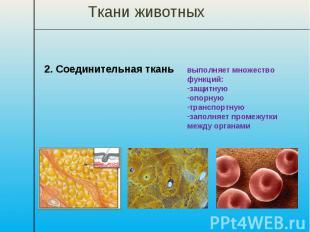 Ткани животных 2. Соединительная ткань выполняет множество функций: защитную опо