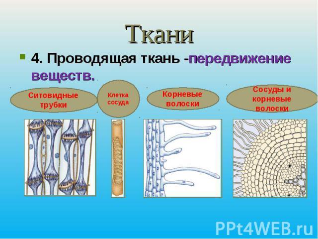 Ткани4. Проводящая ткань -передвижение веществ.