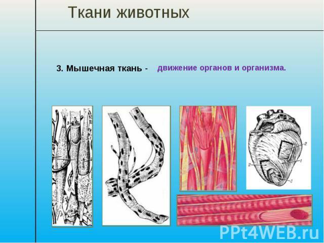 Ткани животных 3. Мышечная ткань - движение органов и организма.