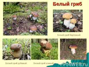 Белый гриб Белый гриб берёзовый Белый гриб дубовый Белый гриб еловый Белый гриб