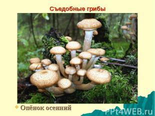 Съедобные грибы Опёнок осенний