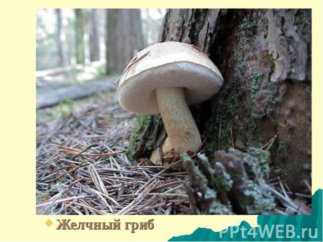 Желчный гриб Желчный гриб
