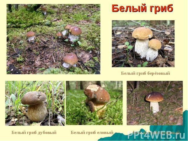 Белый гриб Белый гриб берёзовый Белый гриб дубовый Белый гриб еловый Белый гриб сосновый