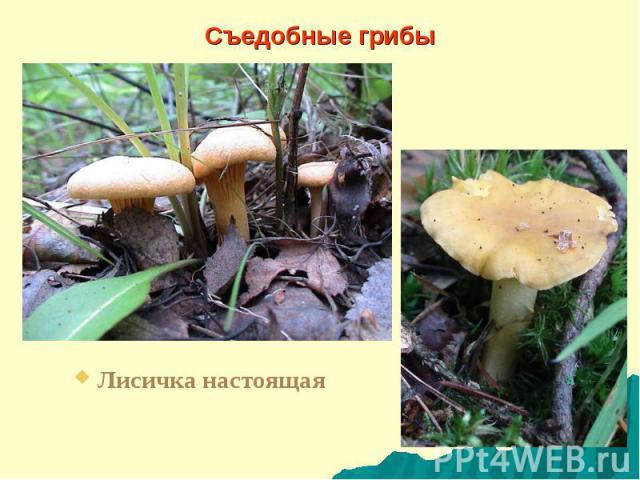 Съедобные грибы Лисичка настоящая