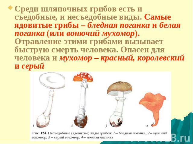 Среди шляпочных грибов есть и съедобные, и несъедобные виды. Самые ядовитые грибы– бледная поганка и белая поганка (или вонючий мухомор). Отравление этими грибами вызывает быструю смерть человека. Опасен для человека и мухомор– красный, королевски…