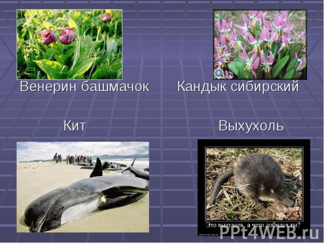 Венерин башмачок Кандык сибирский Кит Выхухоль