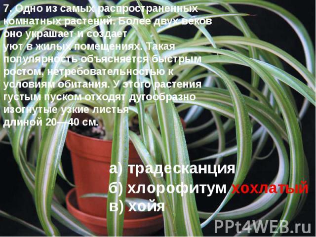 7. Одно из самых распространенных комнатных растений. Более двух веков оно украшает и создает уют в жилых помещениях. Такая популярность объясняется быстрым ростом, нетребовательностью к условиям обитания. У этого растения густым пуском отходят дуго…