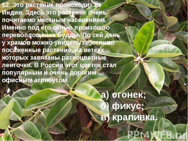12. Это растение происходит из Индии. Здесь это растение очень почитаемо местным населением. Именно под его сенью произошло перевоплощение Будды. По сей день у храмов можно увидеть заботливо посаженные растения, на ветках которых завязаны разноцветн…
