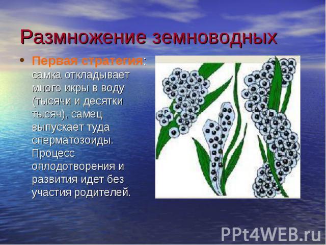 Размножение земноводныхПервая стратегия: самка откладывает много икры в воду (тысячи и десятки тысяч), самец выпускает туда сперматозоиды. Процесс оплодотворения и развития идет без участия родителей.