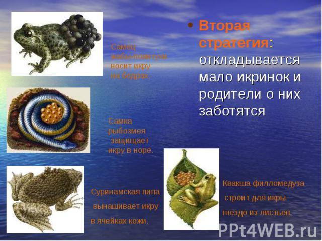 Вторая стратегия: откладывается мало икринок и родители о них заботятся Самец жабы-повитухи носит икру на бедрах. Самка рыбозмея защищает икру в норе. Суринамская пипа вынашивает икру в ячейках кожи. Квакша филломедуза строит для икры гнездо из листьев.