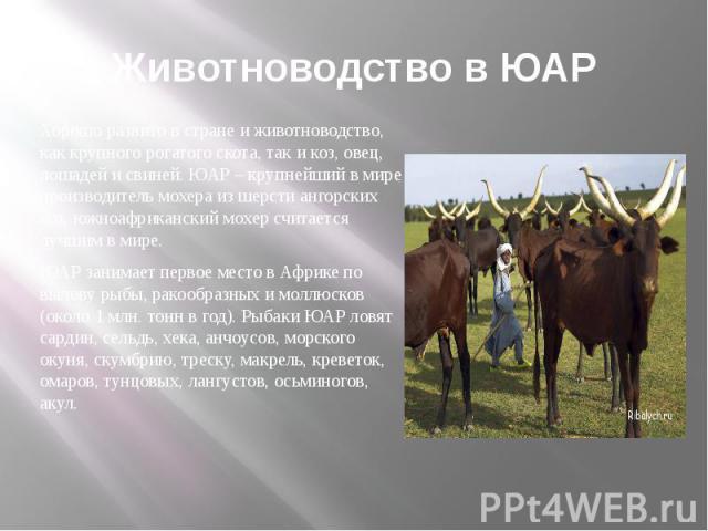 Животноводство в ЮАР Хорошо развито в стране и животноводство, как крупного рогатого скота, так и коз, овец, лошадей и свиней. ЮАР – крупнейший в мире производитель мохера из шерсти ангорских коз, южноафриканский мохер считается лучшим в мире. ЮАР з…