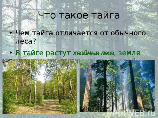 Что такое тайга Чем тайга отличается от обычного леса? В тайге растут хвойные леса, земля практически не покрыта травой