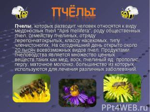 """Пчелы, которых разводит человек относятся к виду медоносных пчел """"Apis mellifera"""