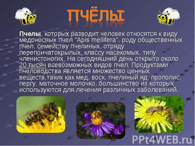 Пчелы, которых разводит человек относятся к виду медоносных пчел