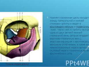 Нижняя глазничная щель находится между латеральной и нижней стенками орбиты и ве