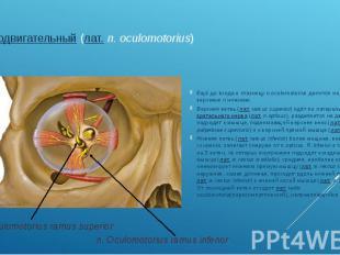глазодвигательный(лат.n. oculomotorius) Ещё до входа в глазницу n.oc