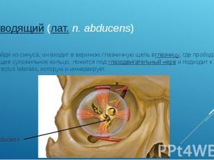 отводящий(лат.n. abducens) Выйдя из синуса, он входит в верхнюю глаз