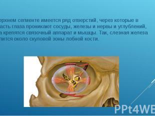 В верхнем сегменте имеется ряд отверстий, через которые в область глаза проникаю