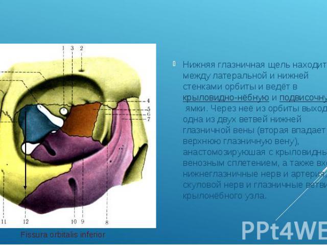 Нижняя глазничная щель находится между латеральной и нижней стенками орбиты и ведёт вкрыловидно-нёбнуюиподвисочнуюямки. Через неё из орбиты выходит одна из двух ветвей нижней глазничной вены (вторая впадает в верхнюю глазничн…