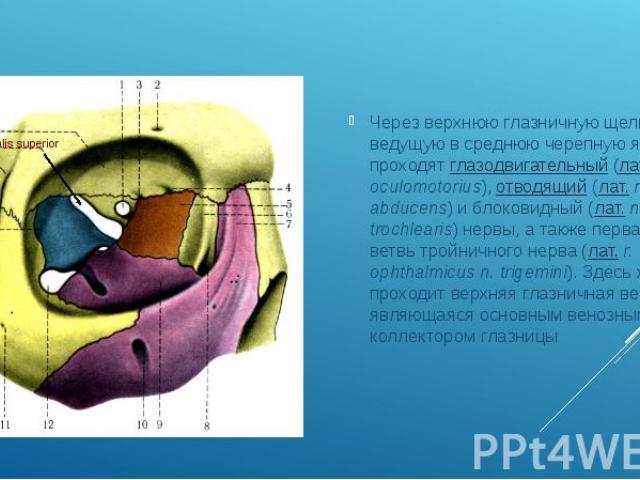 Через верхнюю глазничную щель, ведущую в среднюю черепную ямку, проходятглазодвигательный(лат.n. oculomotorius),отводящий(лат.n. abducens) и блоковидный (лат.n. trochlearis) нервы, а также первая ветвь тройн…