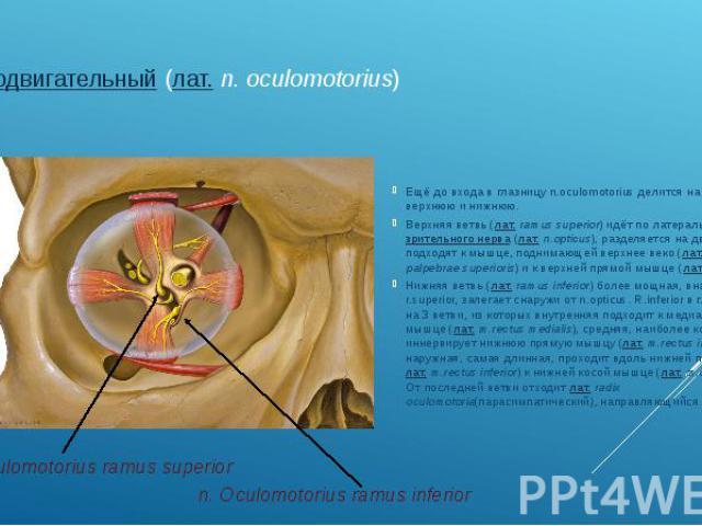 глазодвигательный(лат.n. oculomotorius) Ещё до входа в глазницу n.oculomotorius делится на две ветви— верхнюю и нижнюю. Верхняя ветвь (лат.ramus superior) идёт по латеральной поверхностизрительного нерва(лат.…