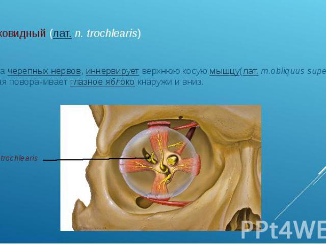 блоковидный (лат.n. trochlearis) IV парачерепных нервов,иннервируетверхнюю косуюмышцу(лат.m.obliquus superior), которая поворачиваетглазное яблококнаружи и вниз.