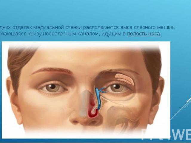 В передних отделах медиальной стенки располагается ямка слёзного мешка, продолжающаяся книзу носослёзным каналом, идущим вполость носа. В передних отделах медиальной стенки располагается ямка слёзного мешка, продолжающаяся книзу носослёзным ка…
