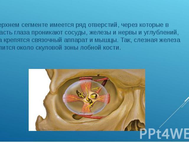 В верхнем сегменте имеется ряд отверстий, через которые в область глаза проникают сосуды, железы и нервы и углублений, куда крепятся связочный аппарат и мышцы. Так, слезная железа крепится около скуловой зоны лобной кости. В верхнем сегменте имеется…