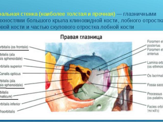латеральная стенка (наиболее толстая и прочная)— глазничными поверхностями большого крыла клиновидной кости, лобного отростка скуловой кости и частью скулового отростка лобной кости латеральная стенка (наиболее толстая и прочная)— глазни…