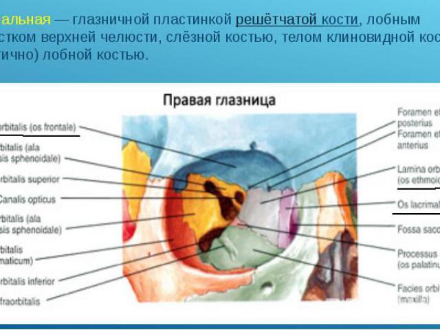 медиальная— глазничной пластинкой решётчатой кости, лобным отростком верхней челюсти, слёзной костью, телом клиновидной кости и (частично) лобной костью. медиальная— глазничной пластинкой решётчатой кости, лобным отростком верхней челюст…