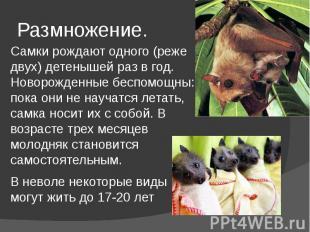 Размножение. Самки рождают одного (реже двух) детенышей раз в год. Новорожденные