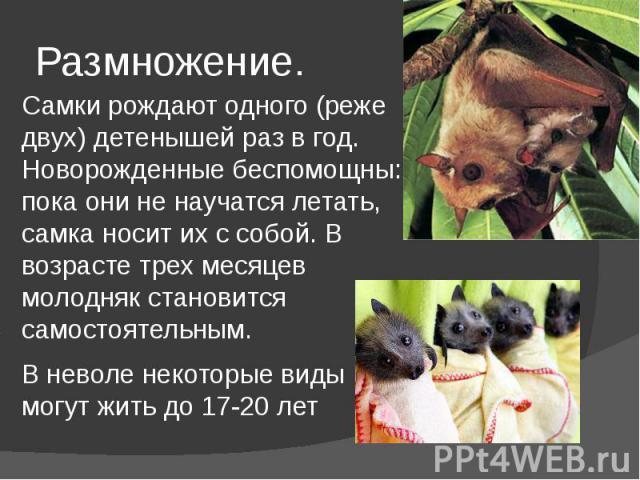 Размножение. Самки рождают одного (реже двух) детенышей раз в год. Новорожденные беспомощны: пока они не научатся летать, самка носит их с собой. В возрасте трех месяцев молодняк становится самостоятельным. В неволе некоторые виды могут жить до 17-20 лет