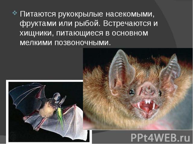 Питаются рукокрылые насекомыми, фруктами или рыбой. Встречаются и хищники, питающиеся в основном мелкими позвоночными. Питаются рукокрылые насекомыми, фруктами или рыбой. Встречаются и хищники, питающиеся в основном мелкими позвоночными.