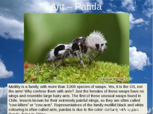 Ant – Panda