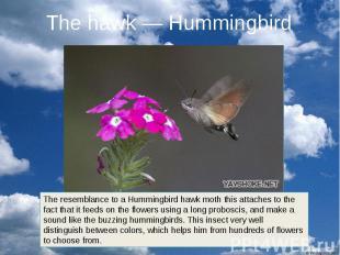 The hawk — Hummingbird