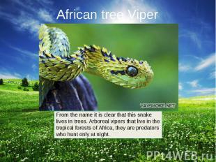 African tree Viper