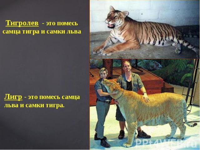 Лигр - это помесь самца льва и самки тигра.